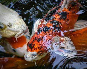 ryby stawowe